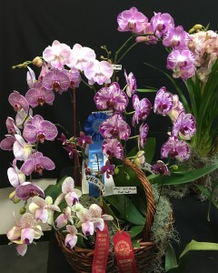 Best-Phalaenopsis-2018