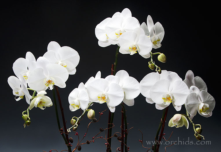 Norman-Orchids