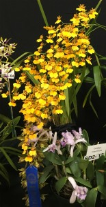 Best-Oncidium-2018